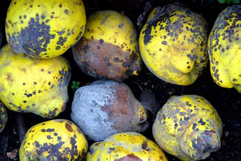 rotting fruit picture 4