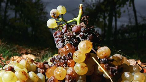 rotting fruit picture 6
